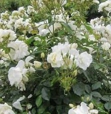 Flower carpet roses newmans nursery flower carpet white mightylinksfo Image collections