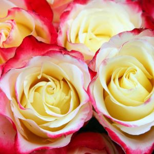Roses For Sale Near Me >> Climbing Roses Newman S Nursery